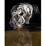A White Tiger Drinking Water