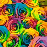 Many Beautiful Colorful Roses